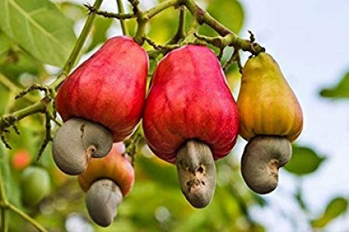 7 Incredible Cashew Nut Benefits: From Heart Health to Gorgeous Hair